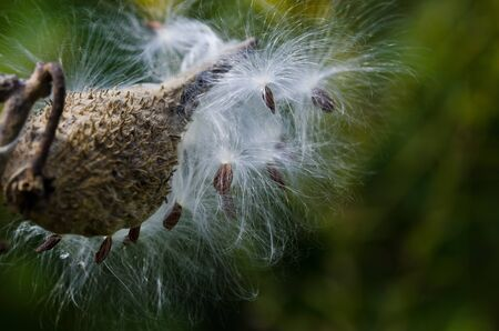 Milkweed Pod Filled With Seeds