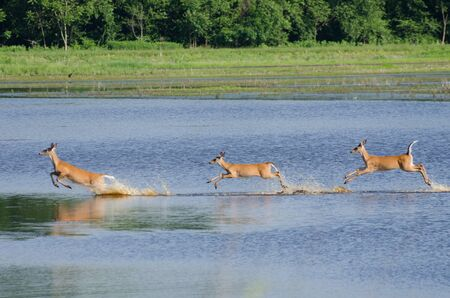 Three Startled Deer Running and Leaping Through the Water Reklamní fotografie - 15638306