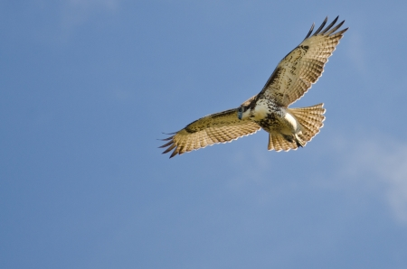 red tailed hawk: Immature Red Tailed Hawk Kiting In a Blue Sky Stock Photo