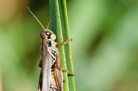 clinging: Grasshopper Clinging to a Blade of Grass