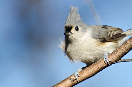 Titmouse copetudo encaramado en un �rbol photo
