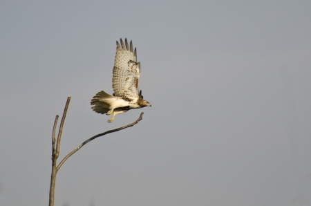 Immature Red-Tailed Hawk Taking Flight From Tree photo