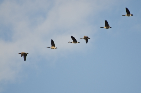 Flock of Canada Geese photo