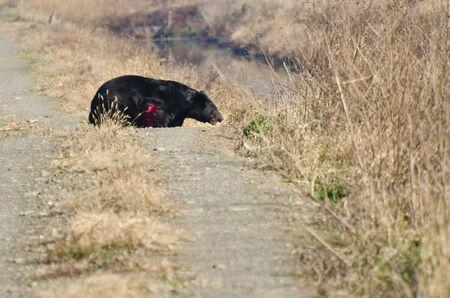 oso negro: Oso Herido Negro caminando a trav�s de Camino