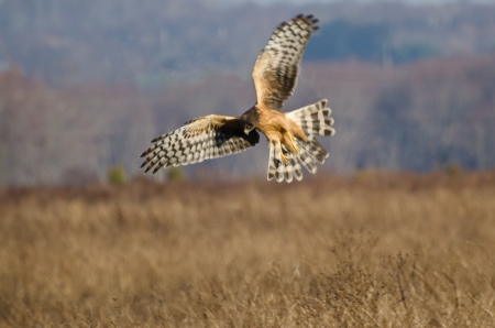 Northern Harrier with Wings Spread Banco de Imagens