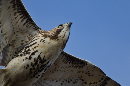 Immature Red-Tailed Hawk Flying in Blue Sky photo