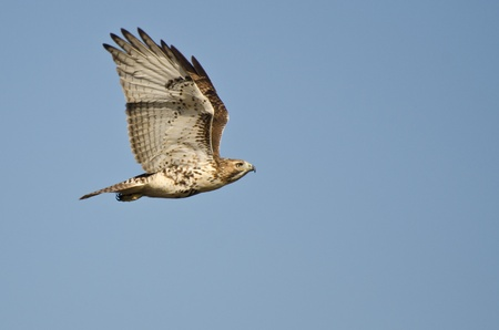 immature: Immature Red-Tailed Hawk Flying in Blue Sky