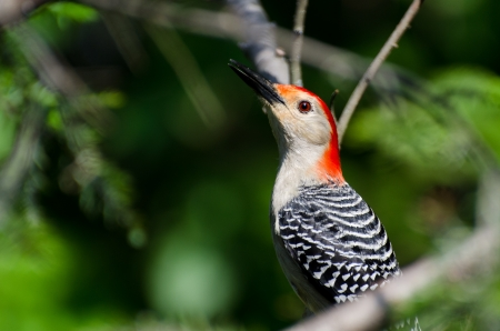 Red-Bellied Woodpecker Profile Stock Photo - 16852610