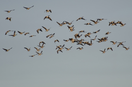 Large Flock of Canada Geese Flying in Blue Sky photo
