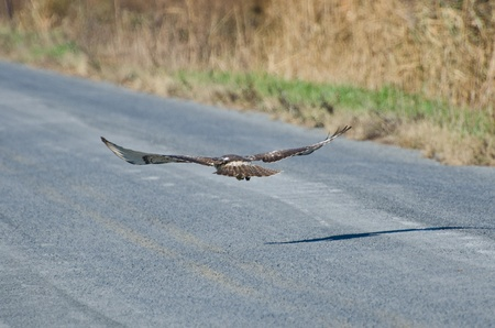Immature Red-Tailed Hawk Flying Down Highway photo