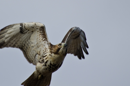 belly band: Immature Red-Tailed Hawk Flying in Cloudy Sky
