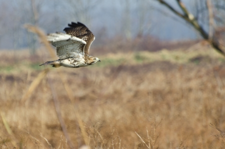 Red-Tailed Hawk Hunting Over Marsh photo