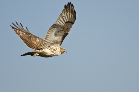 fledgling: Immature Red-Tailed Hawk Flying in Blue Sky
