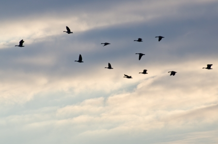 Silhouetted Geese Flying in a Beautiful Sky photo