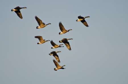 Flock of Canada Geese Flying in the Morning Sky photo