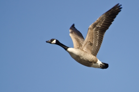 Lone Canada Goose Flying in Blue Sky photo