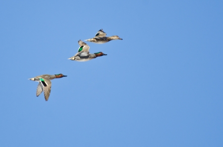 Three Green-Winged Teals Flying in Blue Sky Banco de Imagens