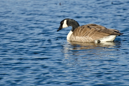 canada goose: Lone Canada Goose on the Water Stock Photo