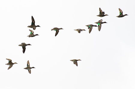 circling: Flock of Green-Winged Teals on a White Background Stock Photo