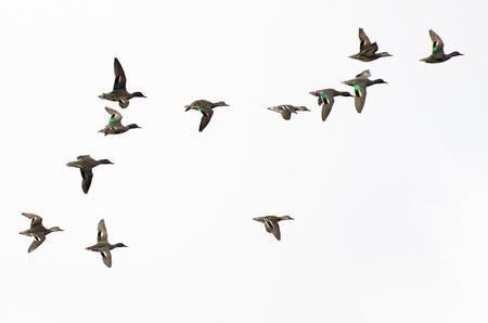 soar: Reba�o de Teals Green-Winged sobre un fondo blanco Foto de archivo