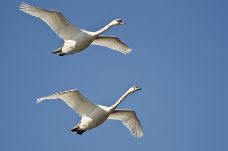 Pair of Mute Swans Flying in a Blue Sky