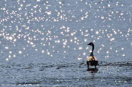 Canada Goose Silhouetted By Sparkling Water photo