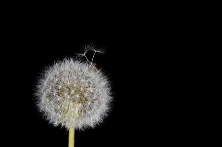 dandelion snow: Dandelion Seeds Working Free