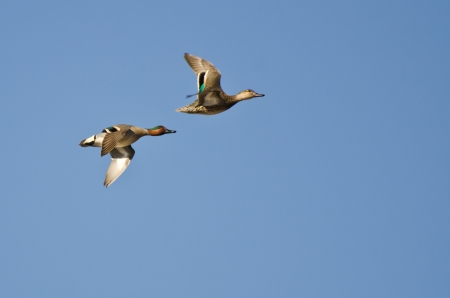 Pair of Green-Winged Teal Flying in a Blue Sky Banco de Imagens