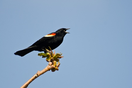 red winged: Red-Winged Blackbird Singing from a Tree
