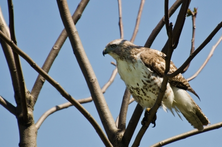 belly band: Young Red-Tailed Hawk Perched in a Tree