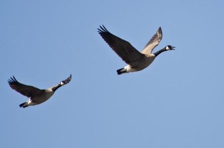 Pair of Canada Geese Flying in Blue Sky Reklamní fotografie - 19882504