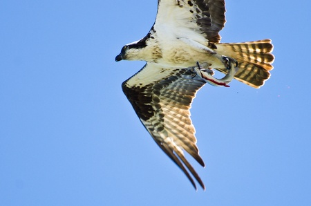 osprey: Osprey Carrying a Bloody Fish Stock Photo