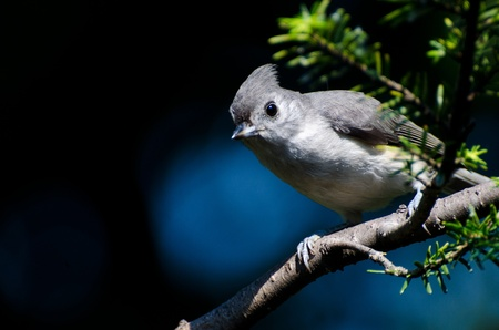 animal limb: Tufted Titmouse Perched on a Branch Stock Photo