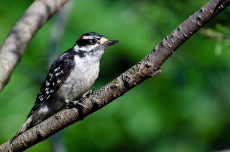downy woodpecker: Downy Woodpecker Perched on a Branch Stock Photo