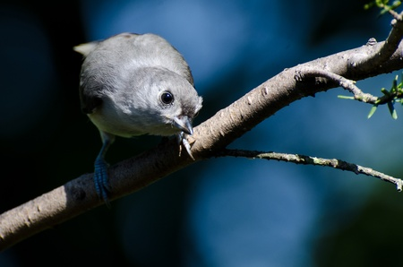 Titmouse Giving You The Eye photo