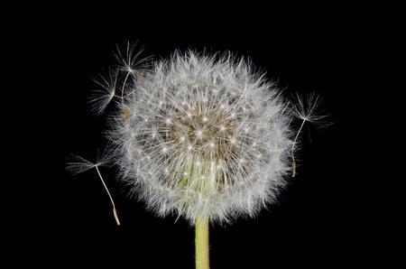 Entangled Dandelion Seeds Banco de Imagens