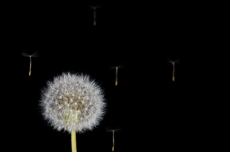 dandelion snow: Dandelion and Drifting Seeds