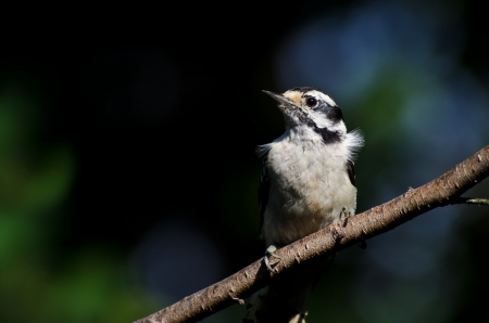 downy: Downy Woodpecker Perched on a Branch Stock Photo