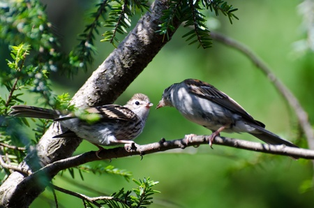 animal limb: Young Chipping Sparrow Being Fed by its Parent