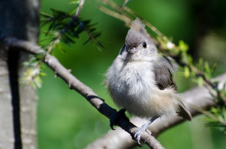 Young Tufted Titmouse All Fluffed Up photo