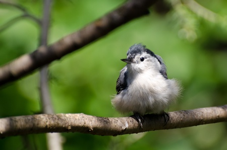 Young White-Breasted Nuthatch Perched on a Branch photo