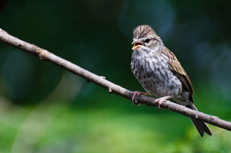 chipping: Young Chipping Sparrow Perched on a Branch