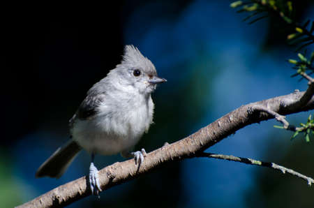 Titmouse copetudo sobre un fondo azul photo