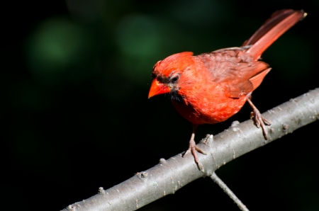 Northern Cardinal Looking Down as if Reading Text photo
