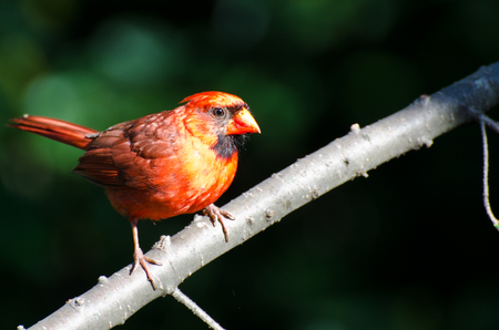 Northern Cardinal Perched In The Morning Sun photo