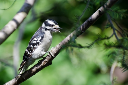 downy woodpecker: Downy Woodpecker in Mid-Call