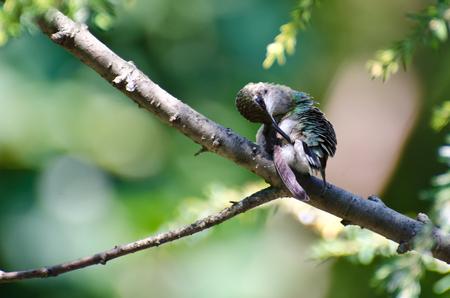 preening: Hummingbird Preening Itself Stock Photo