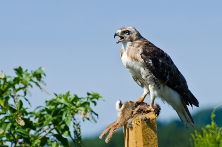 Red-Tailed Hawk With Captured Prey photo