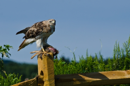 bird eating raptors: Red-Tailed Hawk With Captured Prey Stock Photo