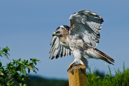 belly band: Red-Tailed Hawk Taking to Flight